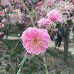 春にロードスターでオススメのお出かけスポットは「なばなの里」です。今回枝垂れ梅祭りに行ってきたのでその様子を紹介