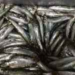 デミオで魚釣りに行きました。サビキで爆釣り!イワシ祭り!