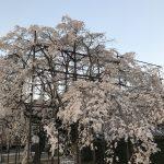 桜が満開ですね..